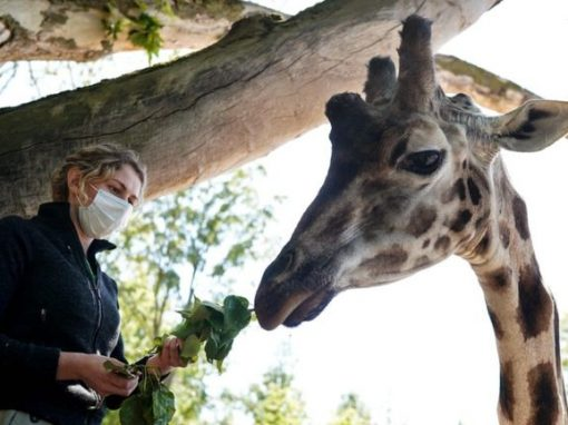 Coronavirus: Belgian zoo comes back to life from lockdown