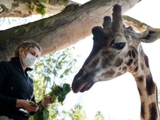 Coronavirus: Belgian zoo comes back to life from lockdown