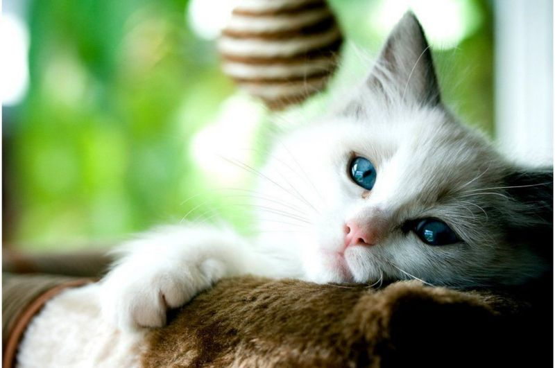أدلة جديدة على انتقال فيروس كورونا من الإنسان إلى القطط